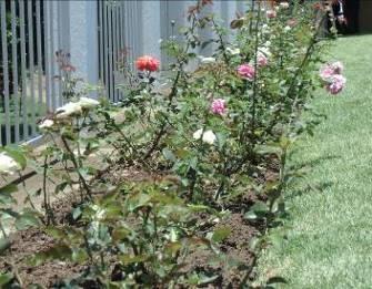 マダガスカルの初夏のバラ