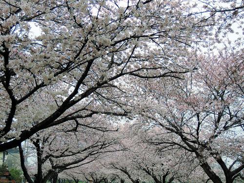 160402sakura04.jpg