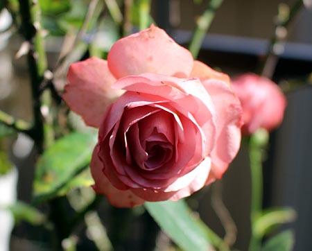 最後の薔薇 1