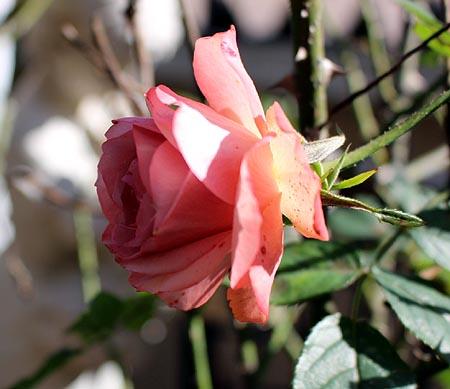 最後の薔薇 2