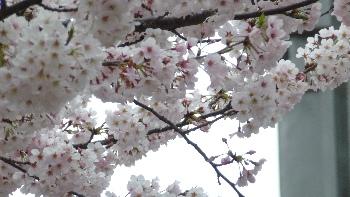 2016池袋の桜