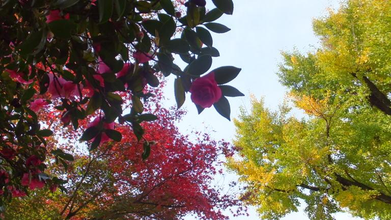 山茶花、楓、銀杏