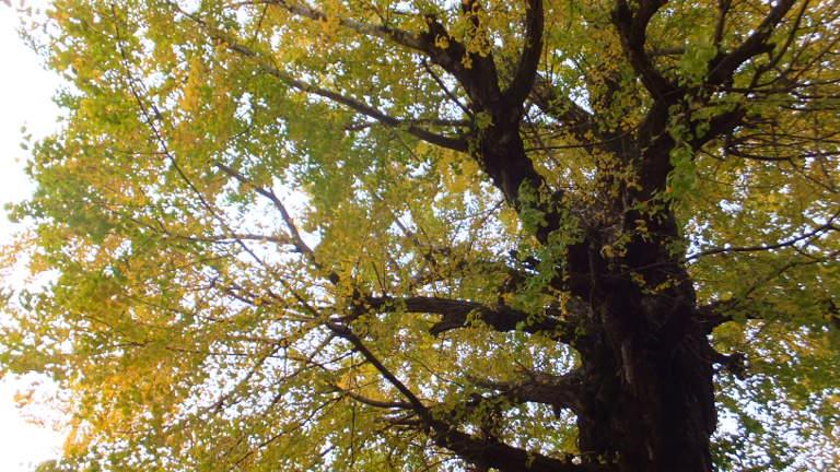 樹齢200年以上