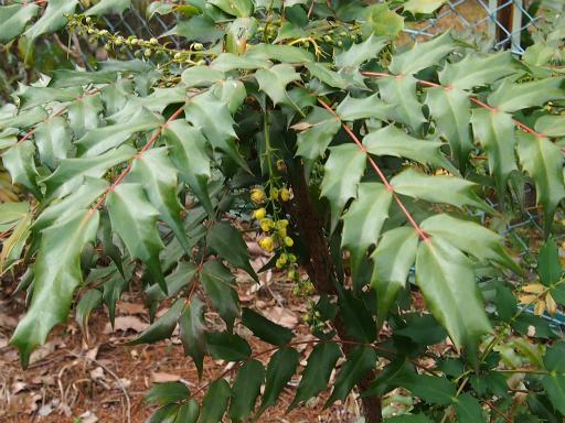 20160312・植物06・ヒイラギナンテン