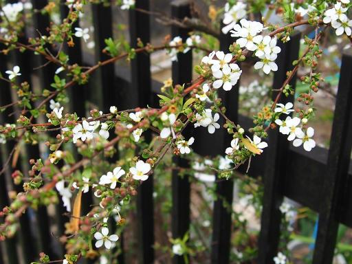 20160312・植物01ユキヤナギ