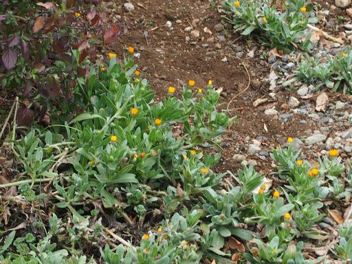 20160312・植物10・フユシラズ