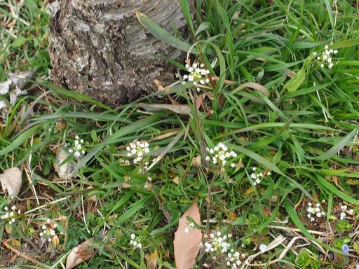 20160312・植物12・ナズナ
