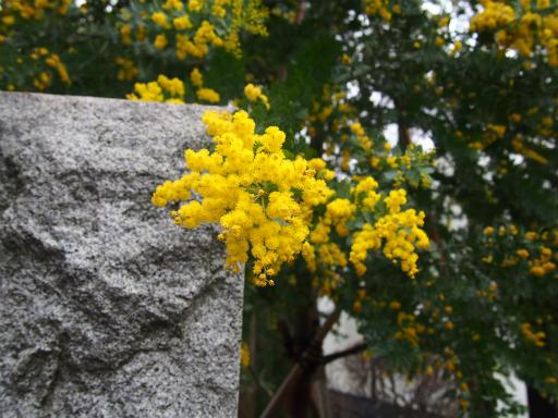20160312・植物08・ギンヨウアカシア