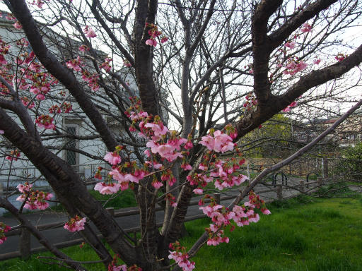 20160321・墓参りと桜3-14・カンヒザクラ
