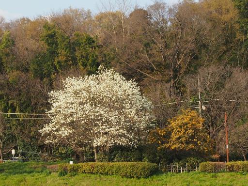 20160321・墓参りと桜3-16