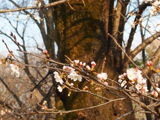 20160321・墓参りと桜3-21