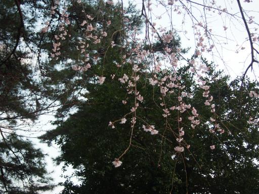 20160321・墓参りと桜4-26