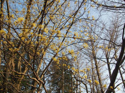 20160321・墓参りと桜空18・武蔵野公園サンシュユ