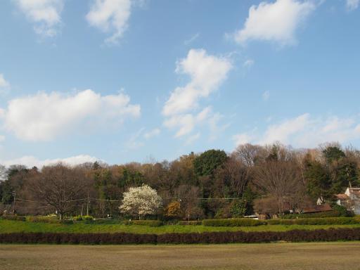 20160321・墓参りと桜空17・武蔵野公園コブシ