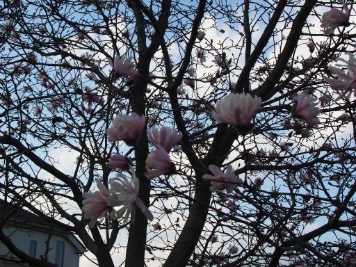 20160321・墓参りと桜空14・武蔵野公園シデコブシ