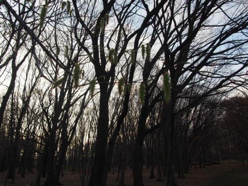 20160321・墓参りと桜空20・野川公園イヌシデ