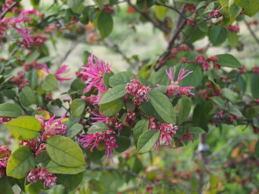 20160321・墓参りと桜植物01・ベニバナトキワマンサク