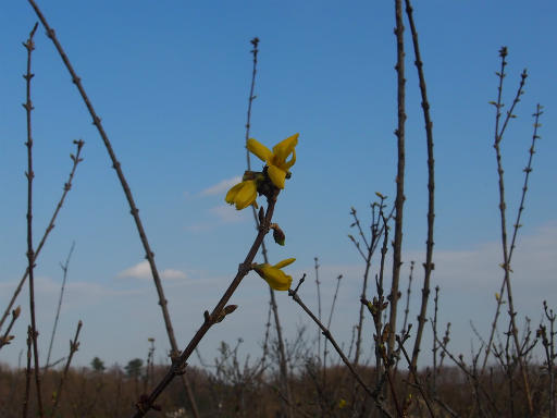 20160321・墓参りと桜植物03・レンギョウ