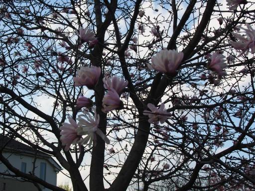 20160321・墓参りと桜植物02・シデコブシ