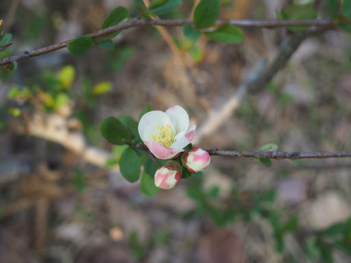 20160321・墓参りと桜植物12・ボケ(白その2)