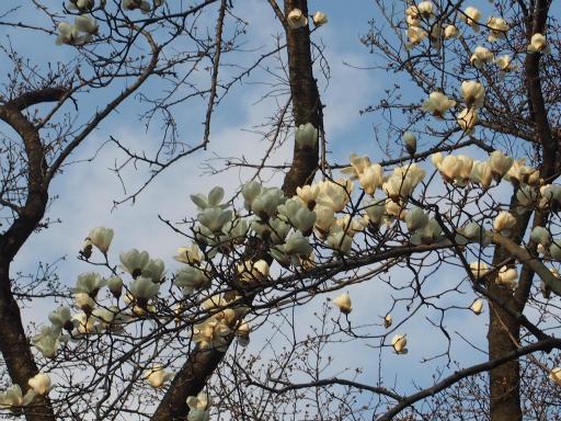 20160321・墓参りと桜植物09・コブシ