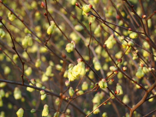 20160321・墓参りと桜植物10・ヒュウガミズキ