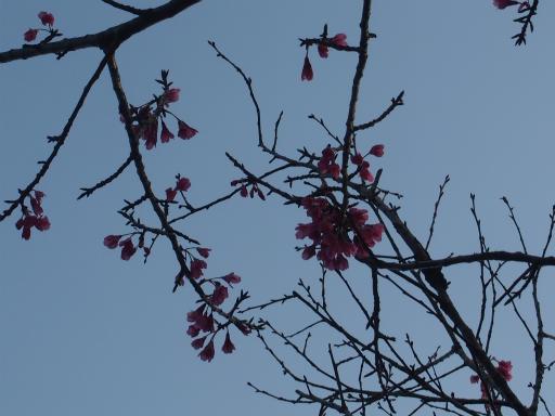 20160321・墓参りと桜植物08・カンヒザクラ
