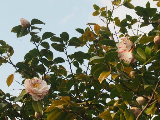 20160321・墓参りと桜植物07・ツバキ(エイラク)