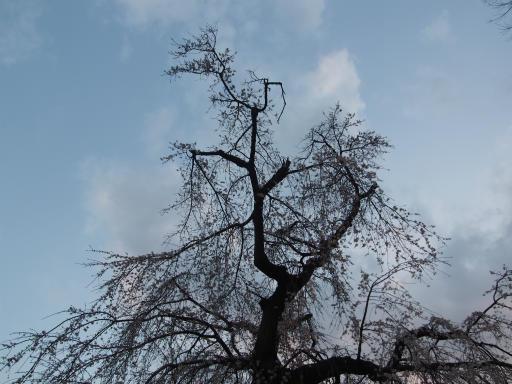 20160321・墓参りと桜植物15・シダレザクラ