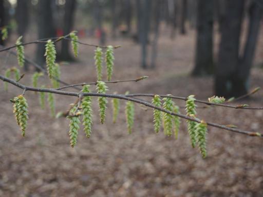 20160321・墓参りと桜植物14・イヌシデ