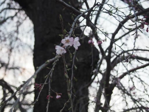 20160321・墓参りと桜植物16・しだれ花