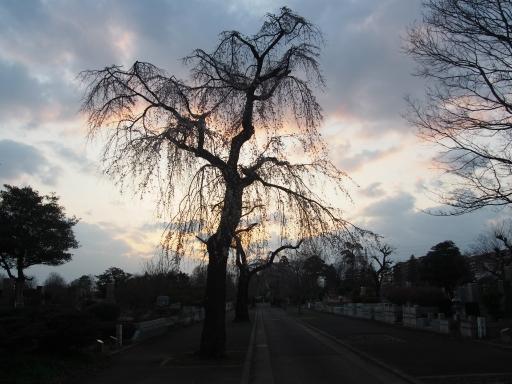 20160321・墓参りと桜ビミョー7