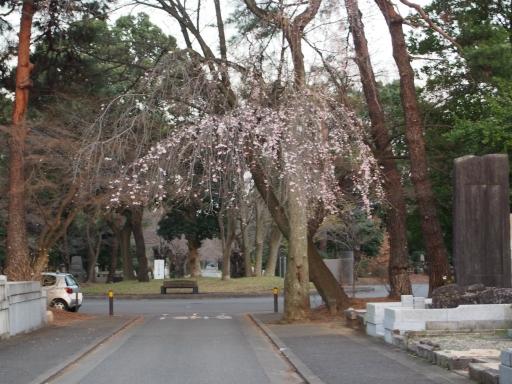 20160321・墓参りと桜ビミョー6