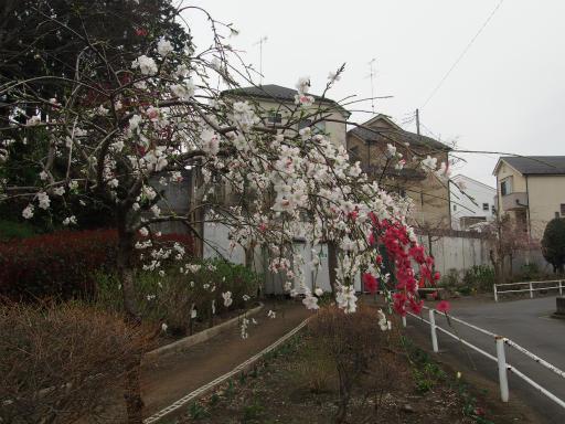 20160402・アルペンルート桜1-02