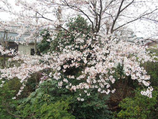 20160402・アルペンルート桜1-09