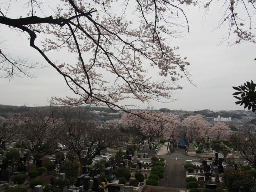 20160402・アルペンルート桜2-06
