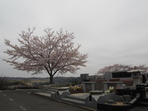 20160402・アルペンルート桜2-07