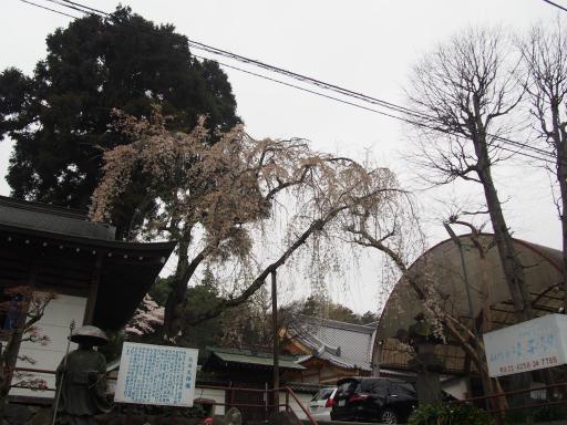 20160402・アルペンルート桜2-17