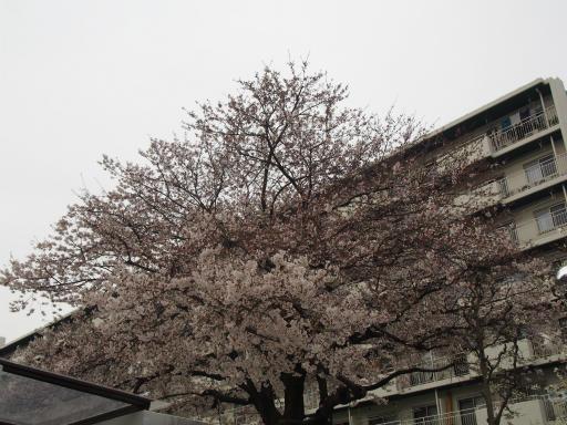 20160403・小手指東川の桜11