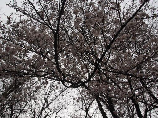 20160403・小手指東川の桜10