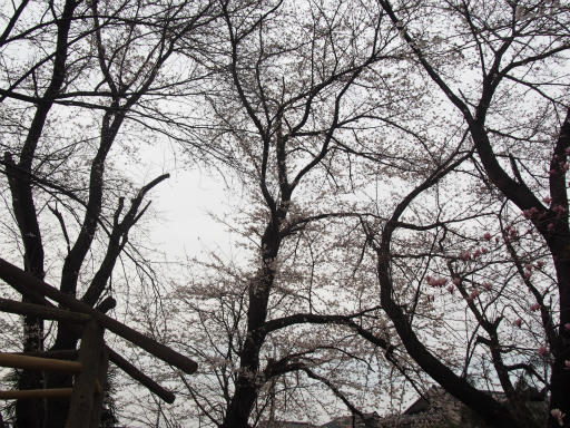 20160403・小手指東川の桜07
