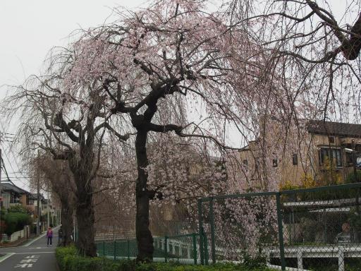 20160403・小手指東川の桜17
