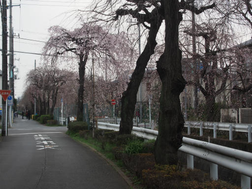 20160403・小手指東川の桜24