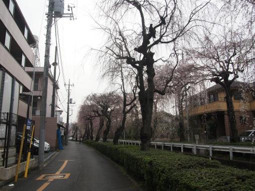 20160403・小手指東川の桜23