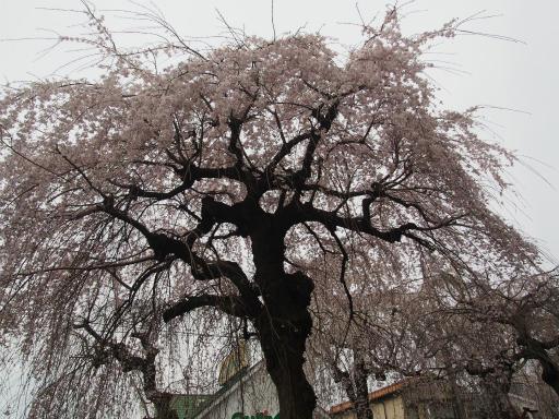 20160403・小手指東川の桜22
