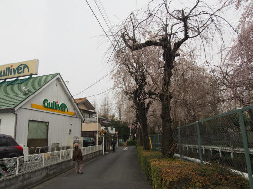 20160403・小手指東川の桜20