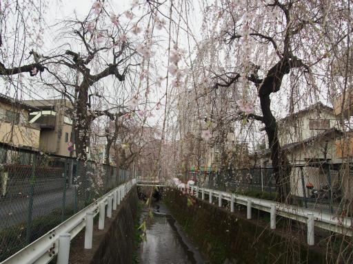 20160403・小手指東川の桜19