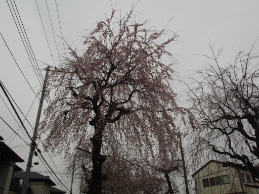 20160403・小手指桜03