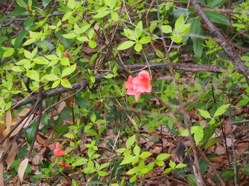 20160402・アルペン植物11・ヤマツツジ