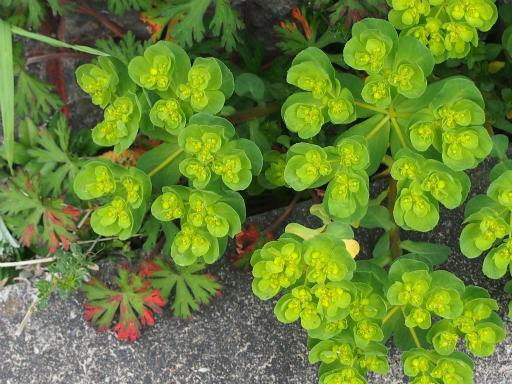 20160402・アルペン植物07・トウダイグサ